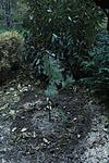 Himalájai selyemfenyő (Pinus wallichiana)